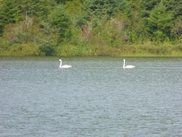 Swans on Chicken Bone Lake, Isle Royale