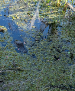 Alligator Waiting, Jean Lafitte Natl. Historical Park